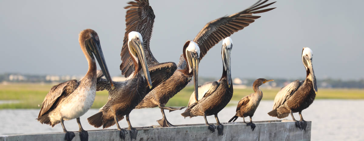 Pelican Family Portrait