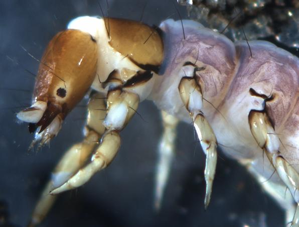 Close up of a macroinvertebrate